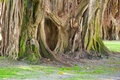 Old large banyan trees in St. Petersbur Florida Royalty Free Stock Photos