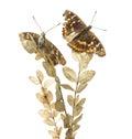 Old Lesser Purple Emperor butterflies on a plant, Apatura ilia