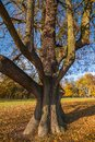 Old lime in castle park Budatin near by Zilina, Slovakia.