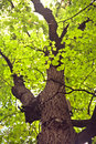 Old linden tree Royalty Free Stock Photo