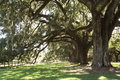 Old live oak trees covered in Spanish moss