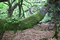 Old lodgepole branch of beech tree covered with moss