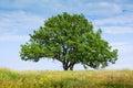 Old lone oak tree Royalty Free Stock Photo