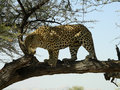 Old male leopard in a game reserve Royalty Free Stock Photography