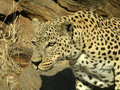 Old male leopard in a game reserve Royalty Free Stock Images
