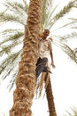 Old man climbing a palm tree Stock Photos