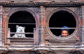Old man dog bhaktapur nepal an and a cute little looking out from upstair windows near tachupal tole dattatraya square in unesco Royalty Free Stock Images