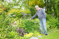 Old man gardening in his garden and tending to colorful Stock Image