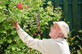 Old man gardening rose bush Royalty Free Stock Photography