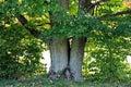 Old Maple Tree Royalty Free Stock Photo