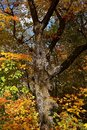Old maple tree with leaves displaying the autumn coloration