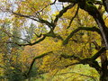Old maple tree twisted branches with golden leaves the wrapped in lichen of an its leafage shining at fall indian summer in Stock Images