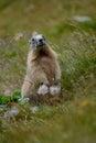Starý svišť v skala tráva