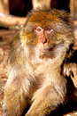 Old monkey in africa and natural fauna close up morocco background Royalty Free Stock Photos