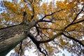 Old oak Royalty Free Stock Photo