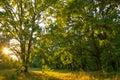 Old oak magic forest sunlight sunrise sunset Royalty Free Stock Photo