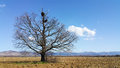 Old Oak with Stork Nest Royalty Free Stock Photo