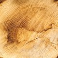Old oak texture, cut wood background Royalty Free Stock Photo