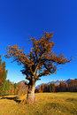 Old Oak Tree in Autumn Royalty Free Stock Photo