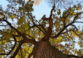 Old oak tree from below. Stock Photos