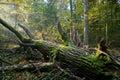 Old oak tree broken and sunbeams above Royalty Free Stock Image