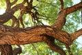 Old oak tree in Fredericksburg, Texas Royalty Free Stock Photo