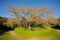 Old Oak Tree In A Grass Field ...