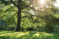 Old oak tree in summer sunset on meadow Royalty Free Stock Photo