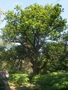 Old oak tree years and tall in the forest of fontainebleau Royalty Free Stock Photography