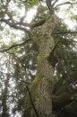 Old oak trunk Royalty Free Stock Photo