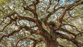 Old oak twisted tree branches ancient live sprawling toward the light in south carolina Stock Photos