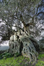 Old olive the and large tree with years of life the plant draws its knots with imaginary figures Stock Images