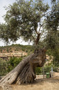 Old olive tree at deia mallorca spain Stock Photos