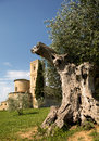 Old olive tree and san altimo abbey large in front of in tuscany italy Stock Image