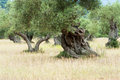 Old Olive Trees Royalty Free Stock Photo