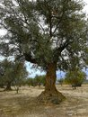 Old olive trees in arid lands Royalty Free Stock Photo