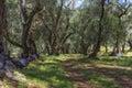 Old olive trees in greece on corfu island Stock Photo