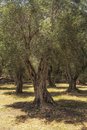 Old olive trees in greece on corfu island Royalty Free Stock Photos