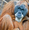 Old orang Royalty Free Stock Images