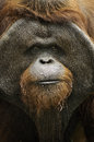 Old orang utan pictures of wild and Stock Photos