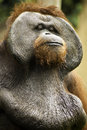 Old orang utan pictures of wild and Royalty Free Stock Photo