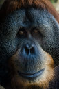 Old orangutan portrait Royalty Free Stock Images