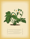 Old paper template with strawberry bush green leafs Stock Image