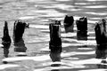 Old piles in cold lake in black and white Royalty Free Stock Images