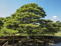 Old pine tree in japanese garden Royalty Free Stock Photography