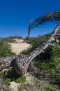 Old pine tree with the knotted trunk an by seaside Stock Image