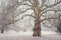 Old platan tree in luzanki park in brno famous sycamore at winter time toned image Royalty Free Stock Photography