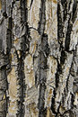 Old poplar bark Royalty Free Stock Photography