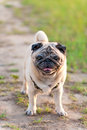 Old pug dog for a walk Royalty Free Stock Photo