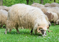 Old ram with flock of sheep grazing his in the meadow in the spring when the first flowers appear from the grass type Royalty Free Stock Photography